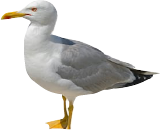 Hanningtons Seagull Image